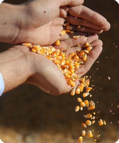 Food Feed Corn